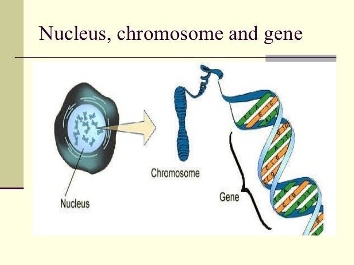 what is the relationship among genes dna and chromosomes in humans