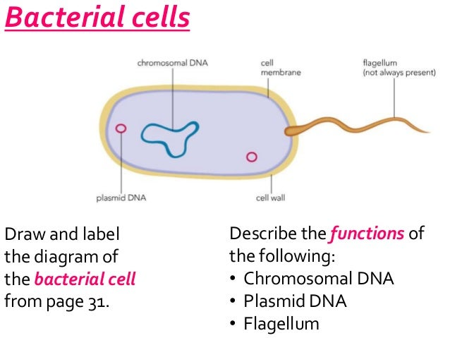 Bacteria cell diagram without labels application wiring diagram bacteria label foot freedomtraining co rh foot freedomtraining co plant cell without labels prokaryotic cell without labels ccuart Image collections