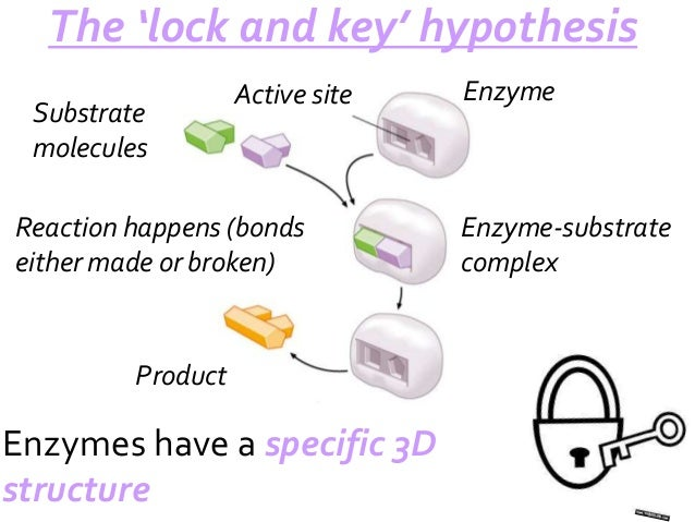 B214 enzyme action enzyme active site lock and key hypothesis substrate 2 ccuart Image collections