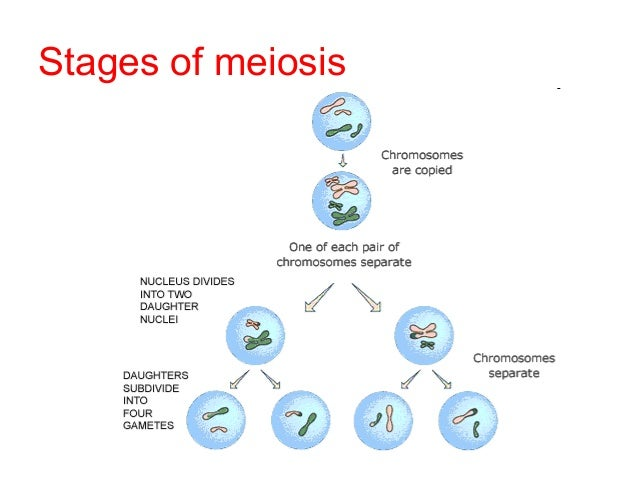 a description of the process of meiosis and the stages involved Differences between mitosis and meiosis mitosis is a process of asexual reproduction in which the cell divides in two producing a replica, with an equal number of.
