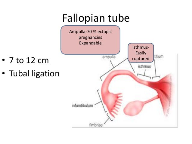 Anatomy Of Fallopian Tube Notes Best Photo Gallery For Website With