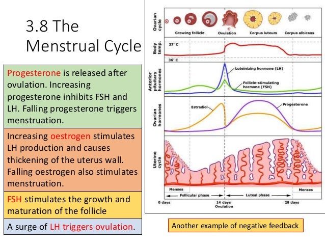 Image result for menstrual cycle phases gcse biology""