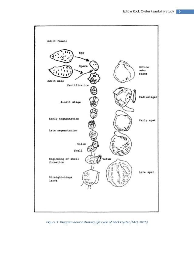 Rock oyster feasibilty study 2 10 9edible rock oyster feasibility study figure 3 diagram demonstrating life cycle ccuart Choice Image