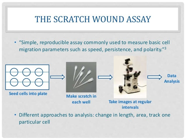 """THE SCRATCH WOUND ASSAY • """"Simple, reproducible assay commonly used to measure basic cell migration parameters such as spe..."""