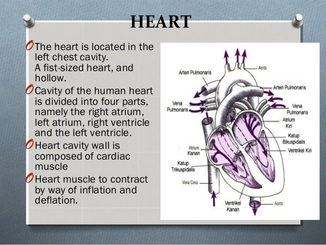 HEART OThe heart is located in the left chest cavity. A fist-sized heart, and hollow. OCavity of the human heart is divide...