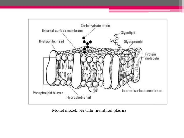 Bab 3 pergerakan bahan2 merentasi membran plasma model mozek bendalir membran plasma ccuart Choice Image