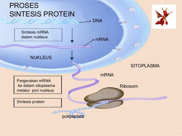 Bab 3 sintesis protein sintesis protein 4 ccuart Image collections