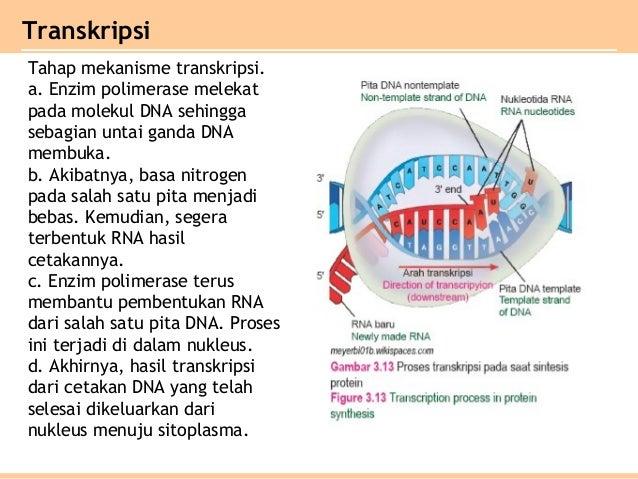 Bab 3 substansi genetik kelas xii ipa 15 ccuart Images