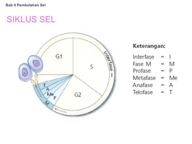 Pembelahan sel bab 4 pembelahan sel siklus sel ccuart Choice Image