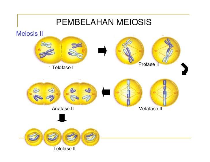 Pembelahan sel ismail sma 2 mempawah pembelahan meiosis ccuart Gallery