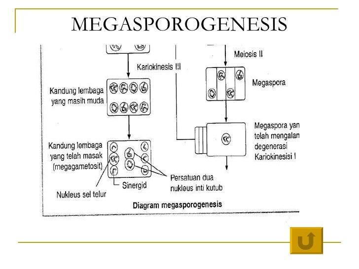 Bab 4 pembelahan sel ismail megasporogenesis 43 ccuart Choice Image