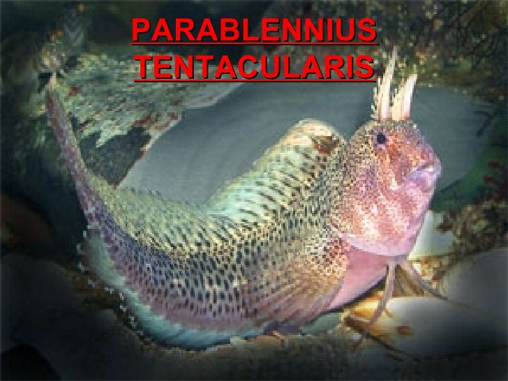PARABLENNIUS TENTACULARIS