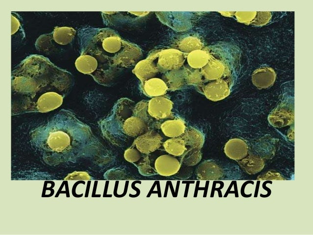 B Anthracis Bacillus anthracis