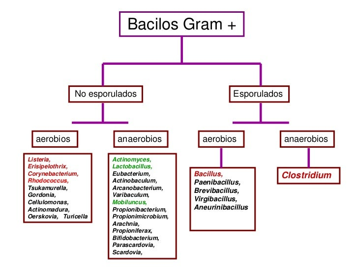 Bacilos Gram +               No esporulados                          Esporulados  aerobios              anaerobios        ...