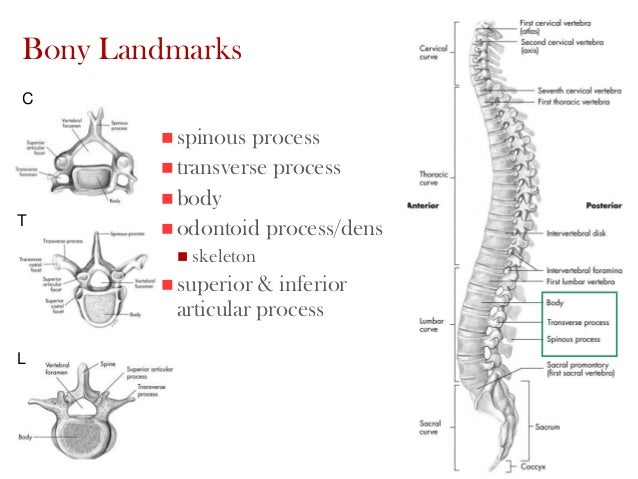 the scapula transverse and spinous processes Which muscle originates on the transverse processes of first four cervical vertebrae and inserts on the vertebral border of scapula between the superior angle and spine.