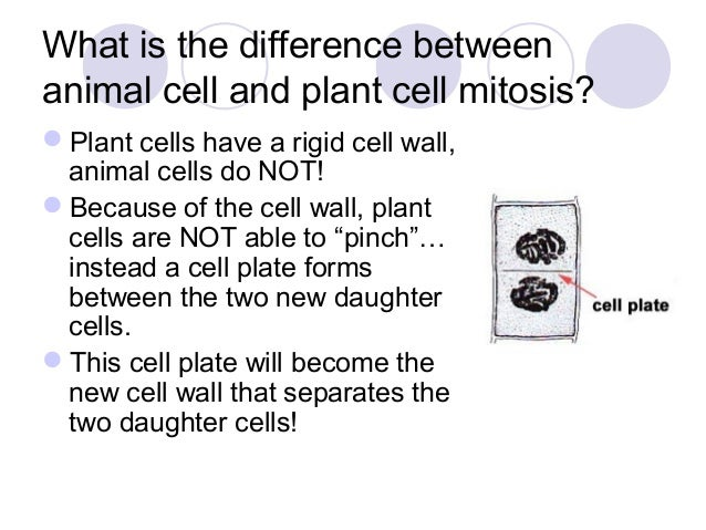 Background notes mitosis and meiosis – Mitosis Notes Worksheet