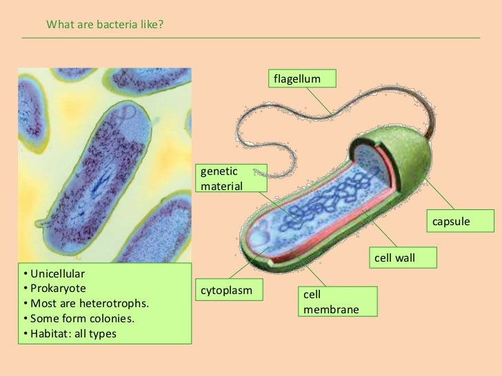 What are bacteria like?                                          flagellum                              genetic           ...
