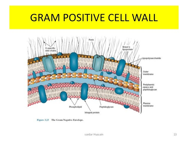 Gram positive cell wall diagram online schematic diagram bacteria rh slideshare net gram positive and gram negative bacteria cell wall diagram gram negative cell wall in a cell ccuart Image collections