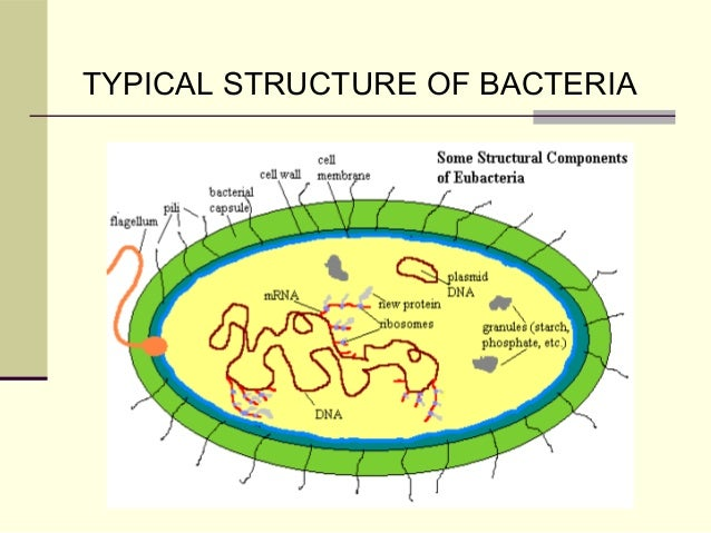 Morphology and structure of bacteria pharmacy universe 2 typical structure of bacteria ccuart Gallery