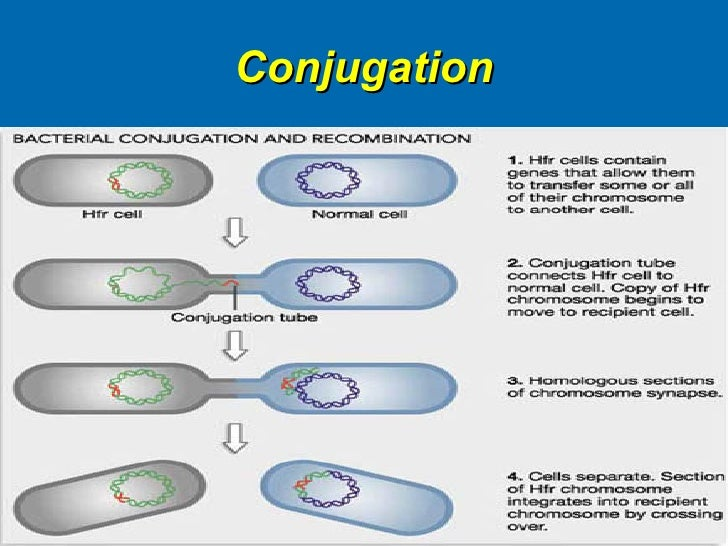 the process of bacterial conjugation in transmitting genetic material Bacterial conjugation is one of the three major known modes of genetic exchange between bacteria, the other two being transduction and bacterial transformation.