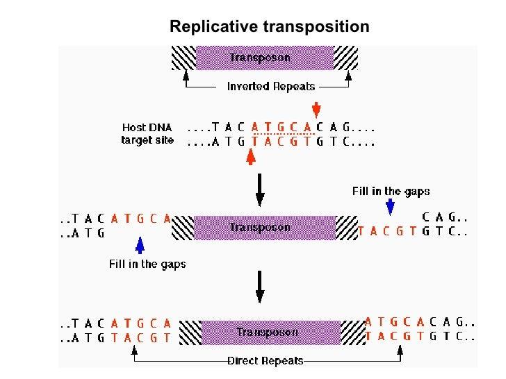 https://image.slidesharecdn.com/bacterial-transposons-1235039960223797-2/95/bacterial-transposons-26-728.jpg?cb=1235018415