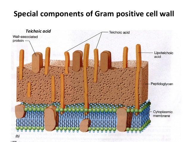 Bacterial cell wall  Lipoteichoic Acid