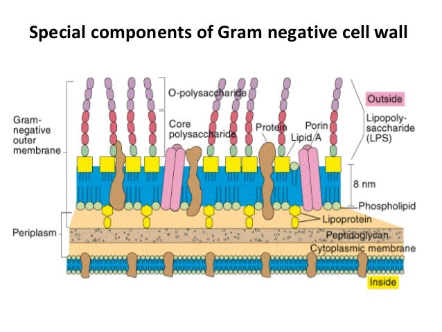 Bacterial cell wall 15 outer membrane ccuart Choice Image