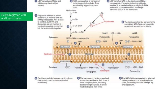 Cell walls. Ppt video online download.