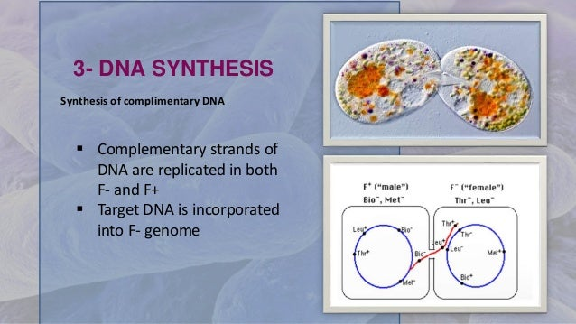 3- DNA SYNTHESIS  Complementary strands of DNA are replicated in both F- and F+  Target DNA is incorporated into F- geno...
