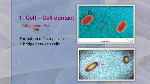 """1- Cell – Cell contact Formation of """"sex pilus"""" or F-bridge between cells Attachment Via Pilli"""