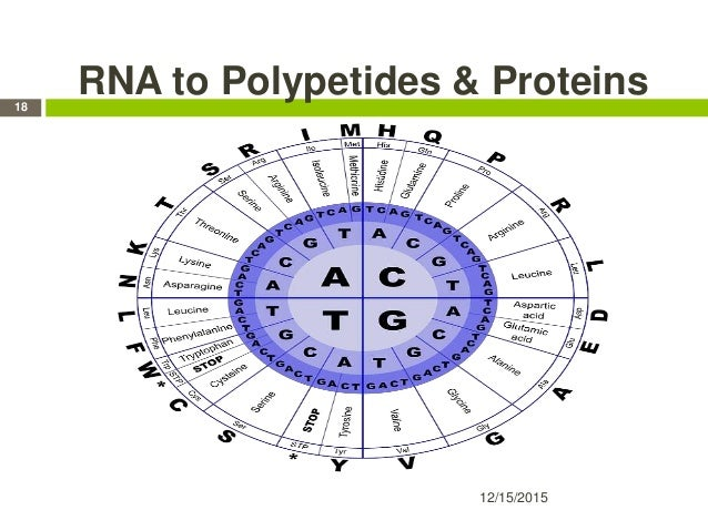 RNA to Polypetides & Proteins 12/15/2015 18