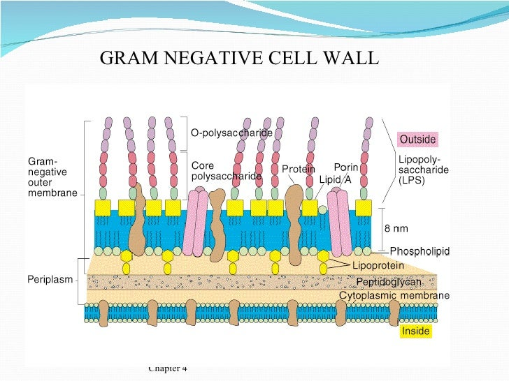 Bacterial morphology chapter 4 gram negative cell wall ccuart Image collections