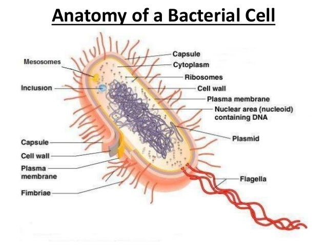 Anatomy of bacterial cell