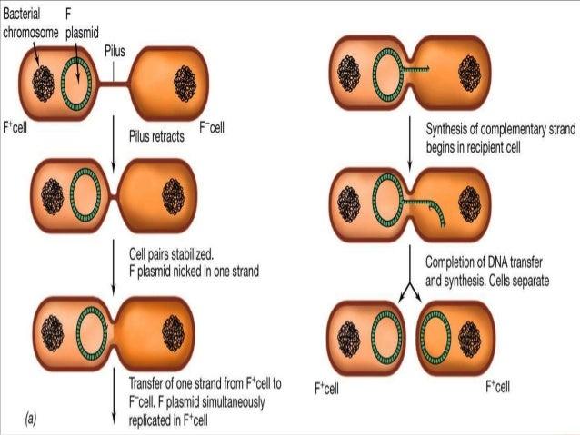 Bacterial Plasmid