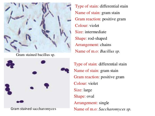 Bacterial staining