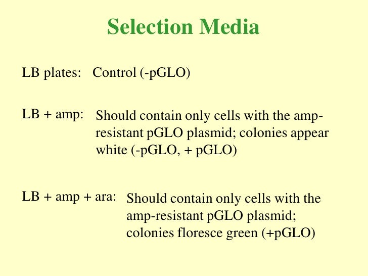 Selection Media LB plates: Control (-pGLO)  LB + amp: Should contain only cells with the amp-           resistant pGLO pla...