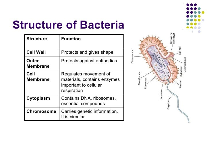 Cocci bacteria cell diagram diy wiring diagrams bacteria power point rh slideshare net bacilli bacteria diagram cocci shaped bacteria ccuart Image collections