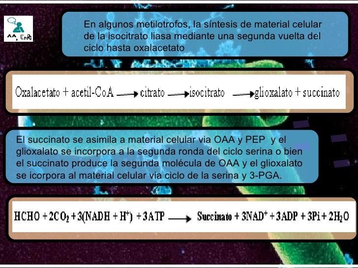 En algunos metilotrofos, la síntesis de material celular de la isocitrato liasa mediante una segunda vuelta del ciclo hast...