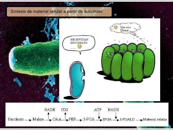 Síntesis de material celular a partir de succinato