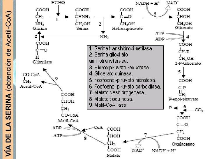 VÍA DE LA SERINA  (obtención de Acetil-CoA)