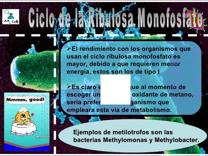 Ejemplos de metilotrofos son las bacterias Methylomonas y Methylobacter.   <ul><li>El rendimiento con los organismos que u...