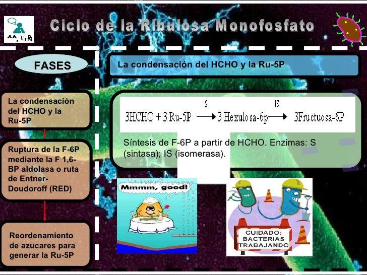 FASES La condensación del HCHO y la Ru-5P   Ciclo de la Ribulosa Monofosfato La condensación del HCHO y la Ru-5P   Ruptura...