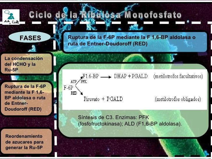 FASES Ruptura de la F-6P mediante la F 1,6-BP aldolasa o ruta de Entner-Doudoroff (RED) La condensación del HCHO y la Ru-5...