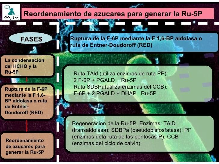 Reordenamiento de azucares para generar la Ru-5P   FASES Ruptura de la F-6P mediante la F 1,6-BP aldolasa o ruta de Entner...