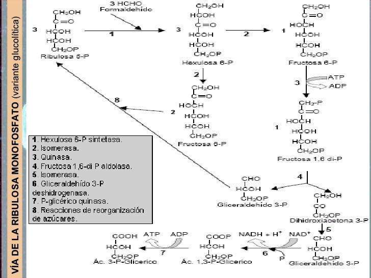 VÍA DE LA RIBULOSA MONOFOSFATO  (variante glucolítica)