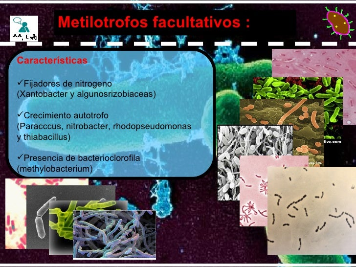 Metilotrofos facultativos : <ul><li>Características  </li></ul><ul><li>Fijadores de nitrogeno  </li></ul><ul><li>(Xantobac...