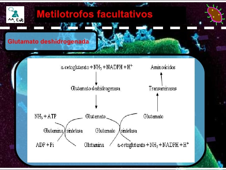 Metilotrofos facultativos Glutamato deshidrogenada