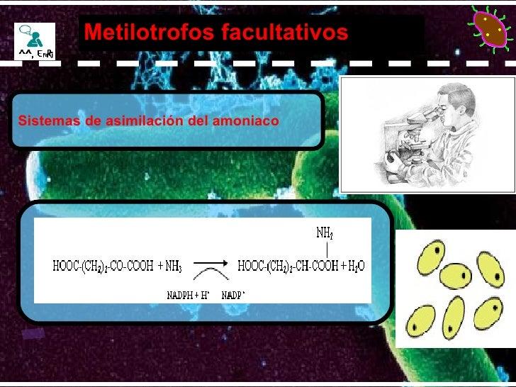 Metilotrofos facultativos  Sistemas de asimilación del amoniaco