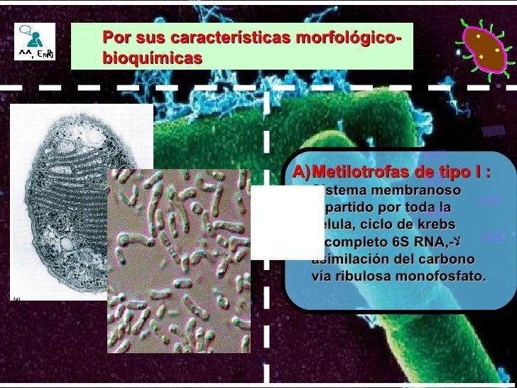 <ul><li>Metilotrofas de tipo I :  </li></ul><ul><li>Sistema membranoso repartido por toda la célula, ciclo de krebs incomp...