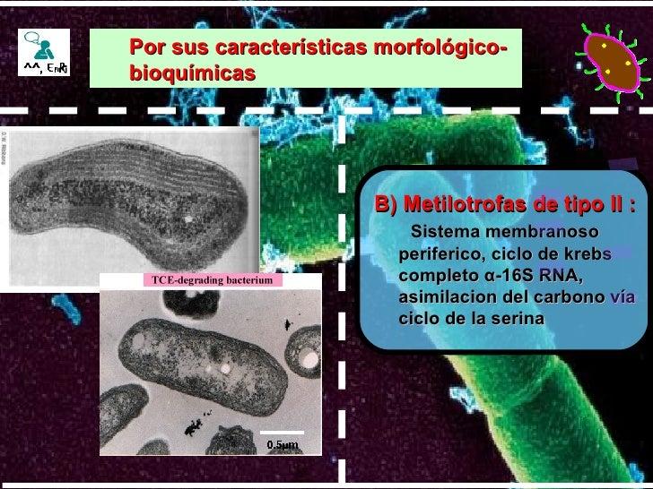 B) Metilotrofas de tipo II : Sistema membranoso periferico, ciclo de krebs completo  α -16S RNA, asimilacion del carbono v...